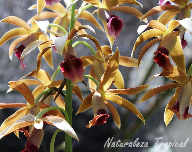 Flores de la llamada orquídea Monja, género Phaius