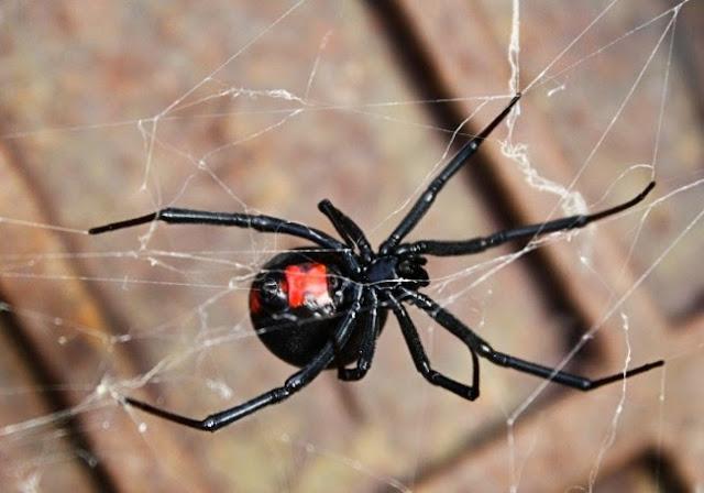 araña viuda negra en una telaraña