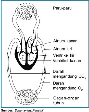 Gambar Skema Peredaran Darah : gambar, skema, peredaran, darah, Sistem, Sirkulasi, Darah, Reptil, Buaya