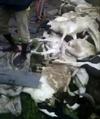 1 man and 70 rams die on Ibadan Expressway