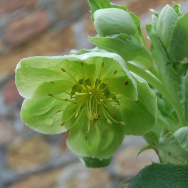 Hellebore Flowers Photo by Hetty