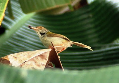Cara Menemukan Sarang Burung Prenjak Di Habitatnya