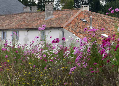 Cosmos sown in a field, Charente Maritime