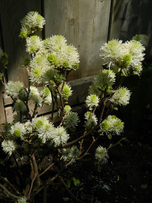 Dwarf Fothergilla gardenii Mt. Airy in Cabbagetown Toronto garden by garden muses-not another Toronto gardening blog