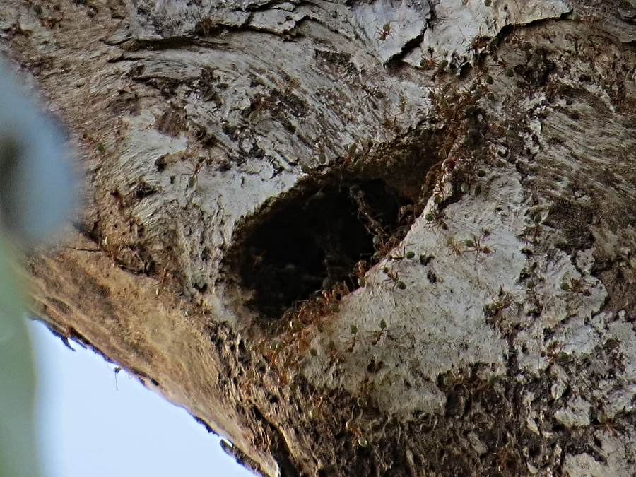 fig parrot nest hollow