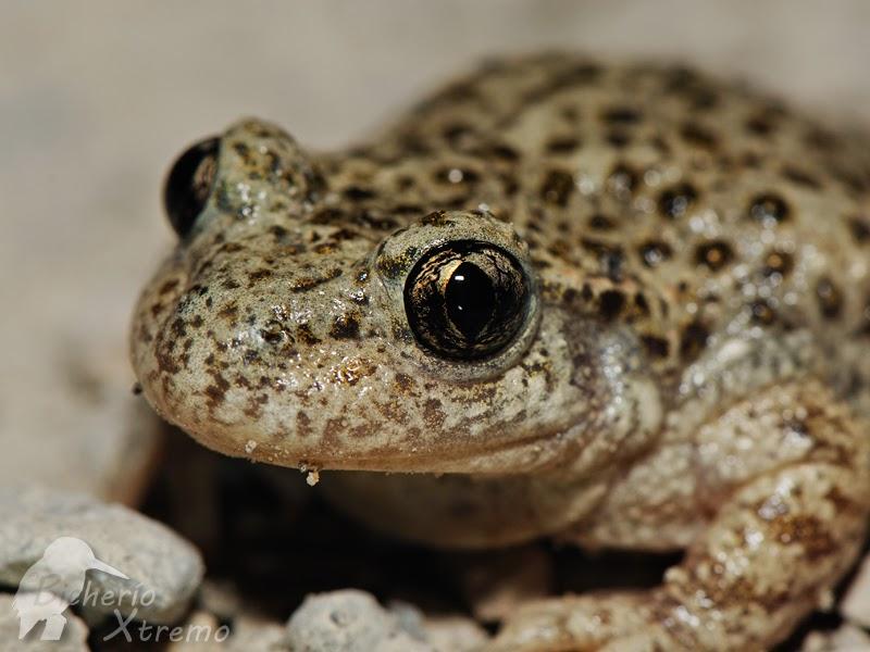El Sapo Bufo, un anfibio con veneno en su piel - Hogarmania