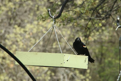 red-winged blackbird at feeder