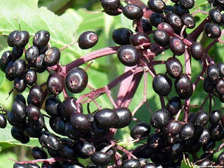 American black elderberry fruit images wallpaper