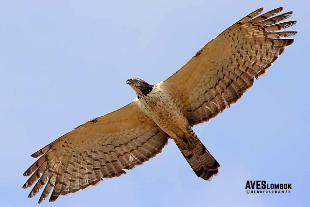 http://www.aveslombok.com/2016/09/sikep-madu-asia-crested-honey-buzzard.html