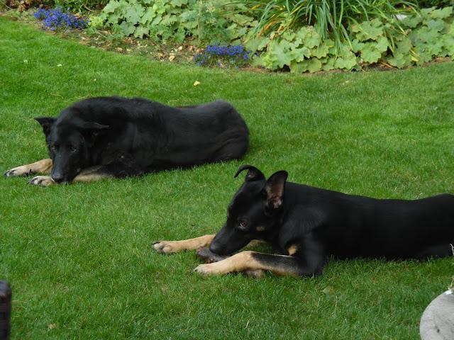 czarne psy