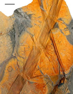 Impresión de parte  de una rama de una  Licopsida   Diaphorodendron bretonense