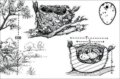 Fiofío grande Elaenia spectabilis