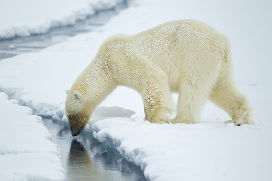 snow polar bears animal facts all wildlife photographs. Black Bedroom Furniture Sets. Home Design Ideas