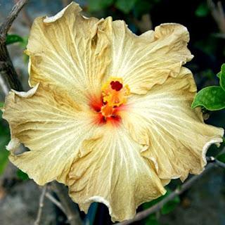Gambar Bunga Alamanda yang Indah 24