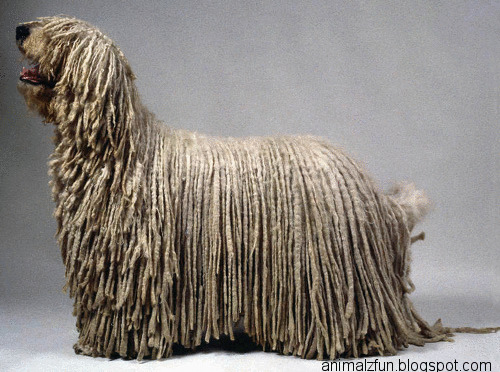 Komondor Dog Funny And Cute Animals
