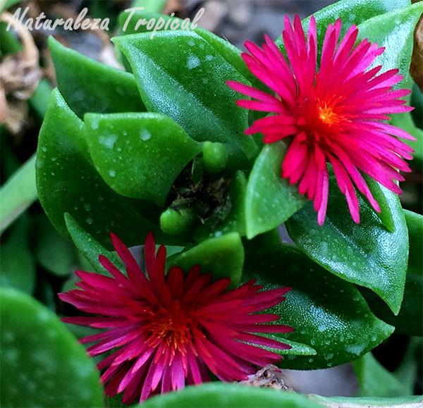Par de flores púrpuras del Rocío, Aptenia cordifolia