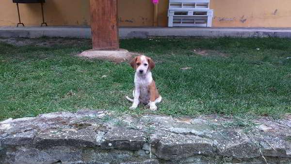 cachorros cruce sabueso con podenco