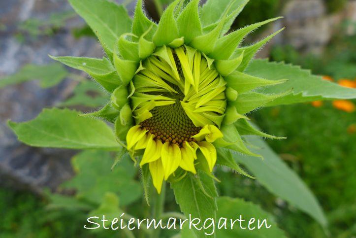 Sonnenblume2-Steiermargarten