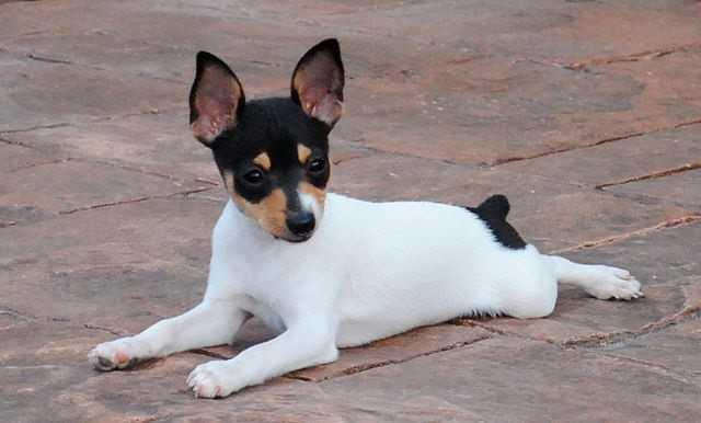 Fox Terrier Ratonero