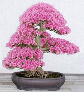 www.banggood.com/10pcs-Garden-Cherry-Blossoms-Bonsai-Flower-Seeds-Courtyard-Potted-Plant-p-1004671.html?utm_source=sns&utm_medium=redid&utm_campaign=recenzije11&utm_content=chelsea