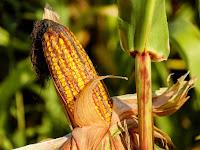 Jaga Kualitas Panen Jagung Hibrida, dengan Waring Sayur