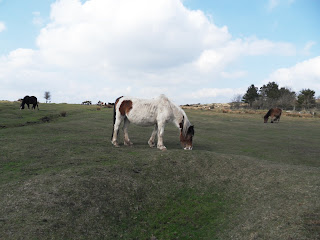 Bodmin Moor ponies and horses Cornwall