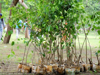 Madhya-Pradesh-set-record-with-plantation-of-6-cr-saplings-in day
