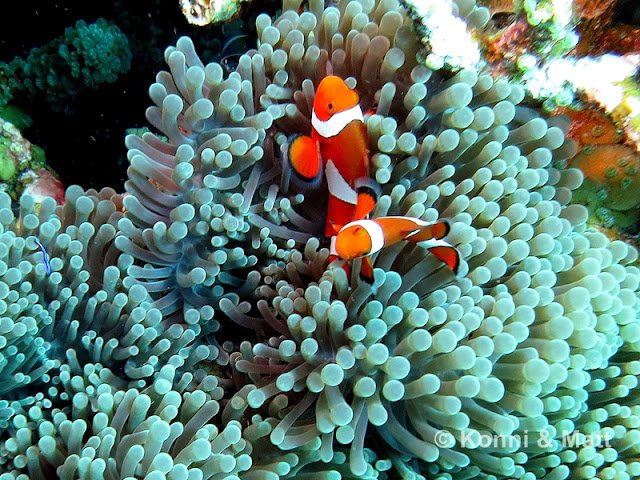 Two-Bar Clownfish in sea anemone