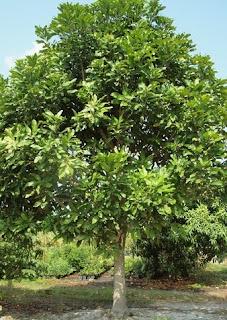 Tumbuhan Kasturi atau Mangifera casturi