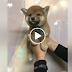 ขายลูกสุนัข ชิบะอินุ
