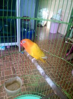Persilangan Lovebird Agar Menjadi Lutino