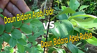 Membedakan pohon bidara sidr dengan pohon bidara putsa apel india