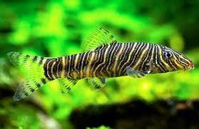 Botia striata ikan hias air tawar