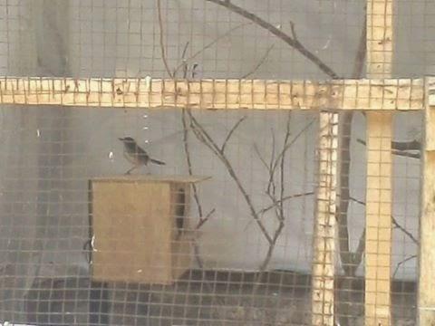 Gembala News Cara Ternak Burung Ciblek