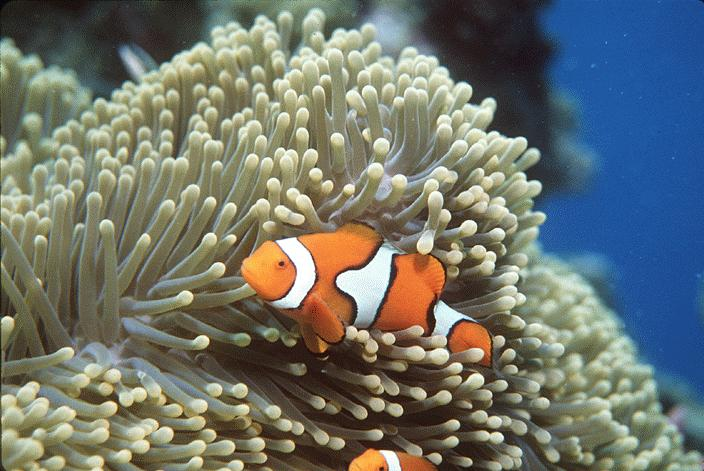 sea anemone and clownfish mutualism or commensalism relationship