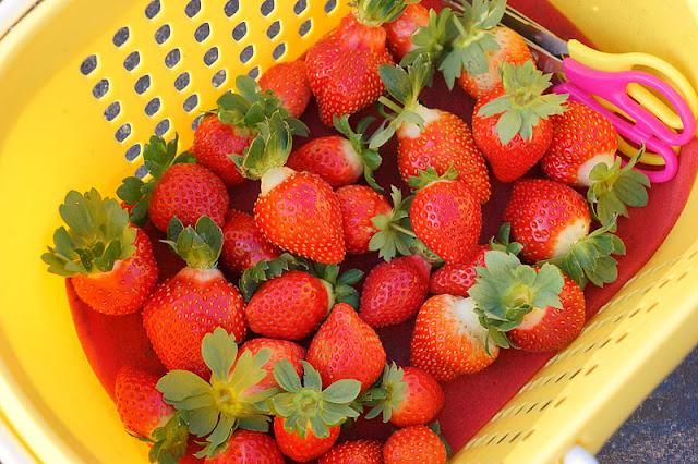 DSC00882 - 台中觀光果園│採草莓不用去大湖,台中草莓世界就在潭子慈濟醫院對面開採囉