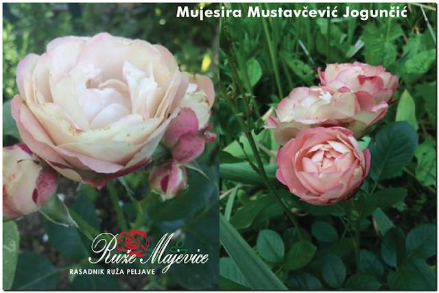 Tuzla: Nežne, romantične, opojne, Akropolis ruže, iz vrta naše Mujesire