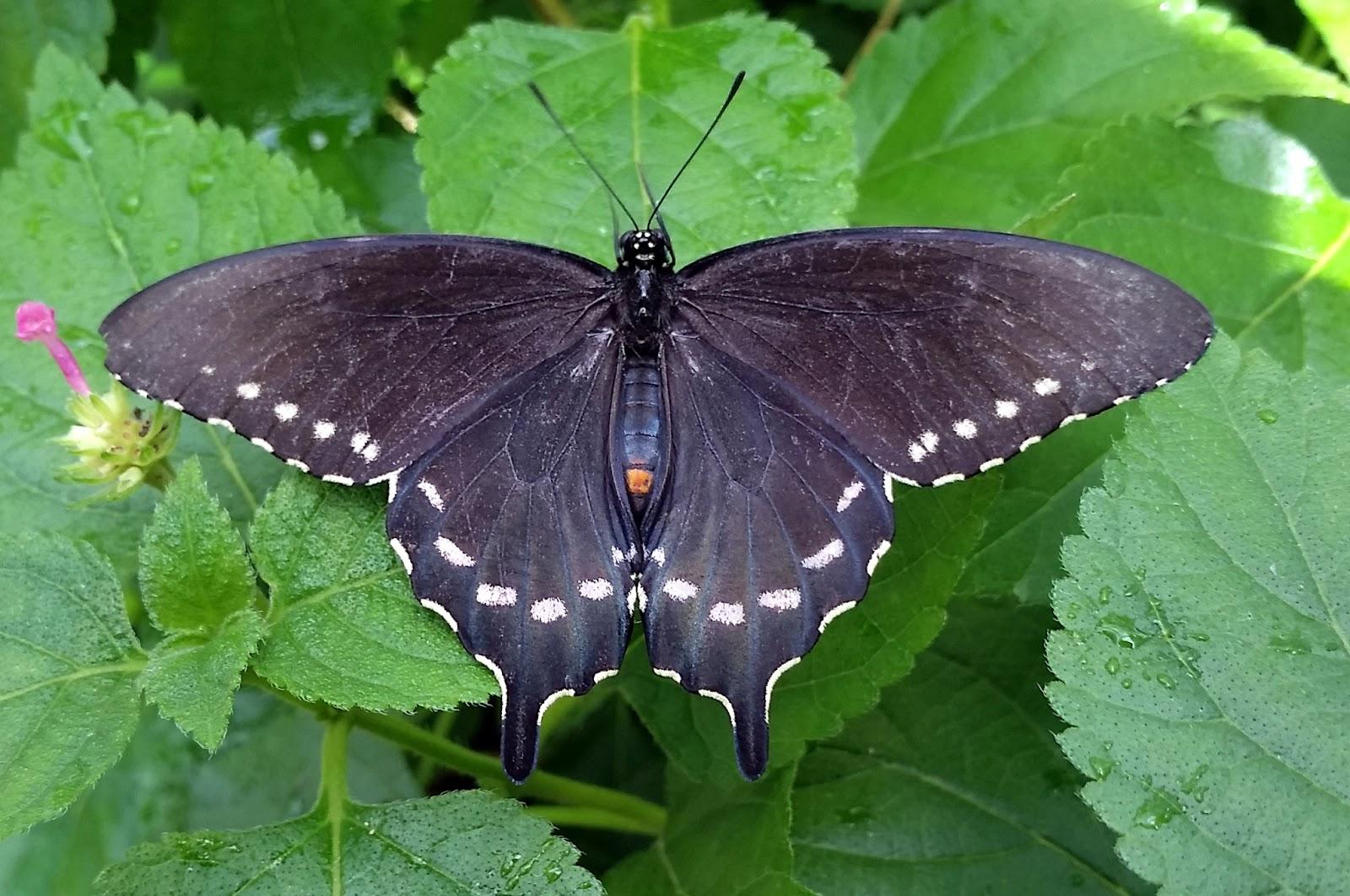 Pipevine Swallowtail Battus philenor (Linnaeus, 1771 ... |Pipevine Swallowtail Butterfly