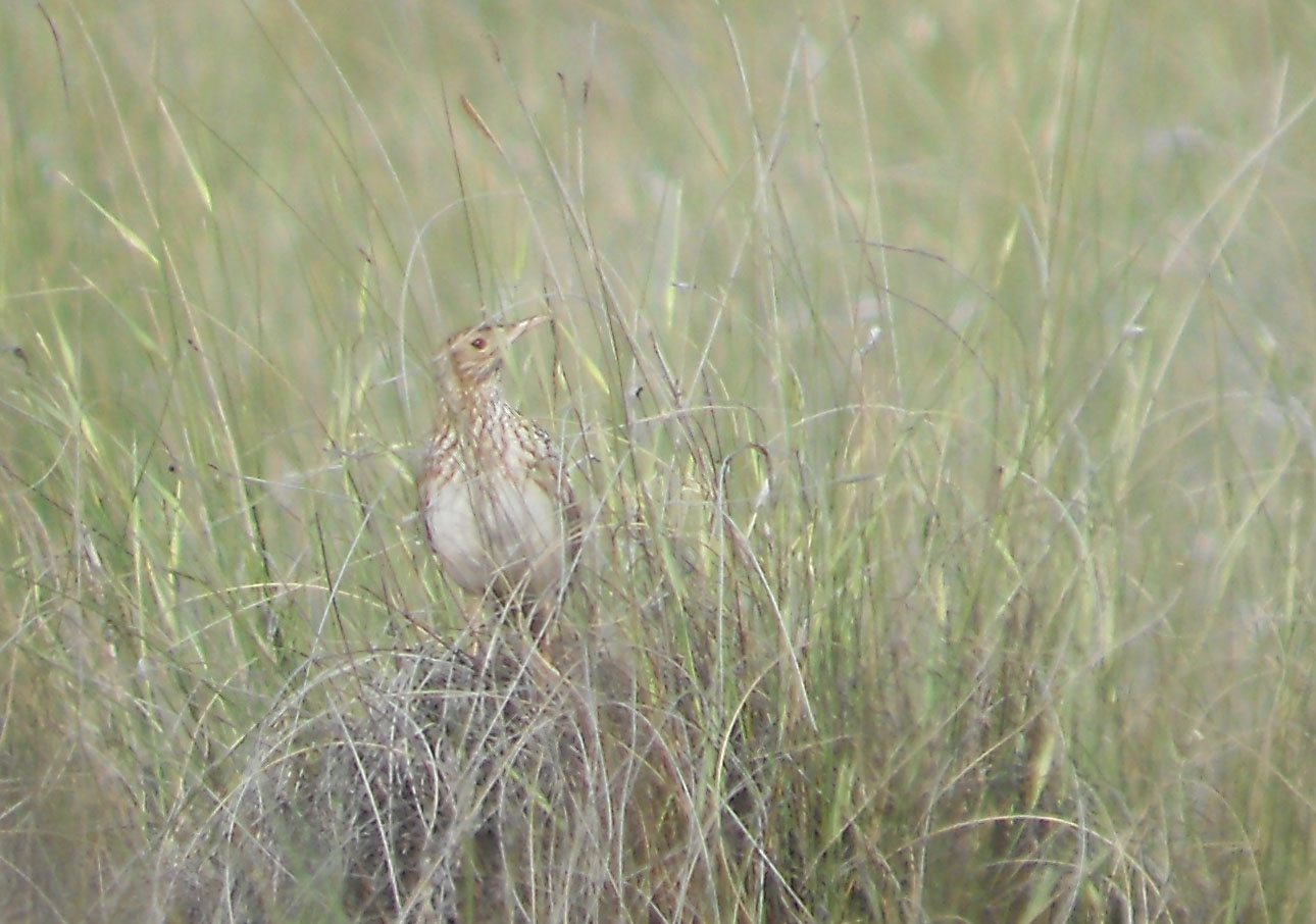 Duponts Lark - Spain