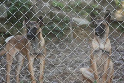 Guarda Civil de Petrópolis, (RJ) treina cães farejadores para buscas em escombros