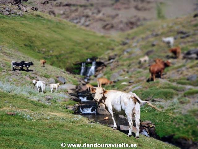 Ganadería en el Río Culo de Perro subiendo al Mulhacén desde Trevélez