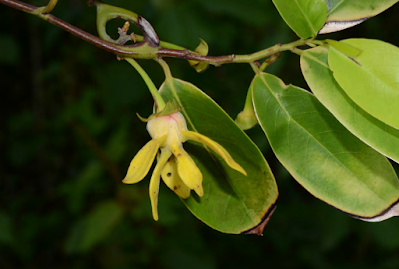 นาวน้ำ ไม้ดอกหอมของไทย ดอกบานสีเหลืองคล้ายดอกการเวก กลิ่นหอมแรง