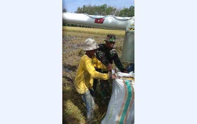 Babinsa Koramil 16/DM Sertu L. Tambun Dampingi Petani di Desa Hutanauli Panen Padi