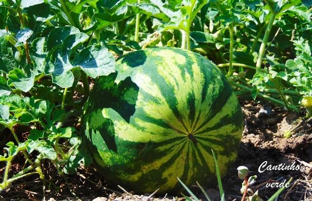 Cultivo da melancia