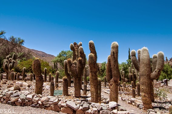 Las cardonas de Pucara de Tilcara en la quebrada de Humahuaca. Viajando por Argentina