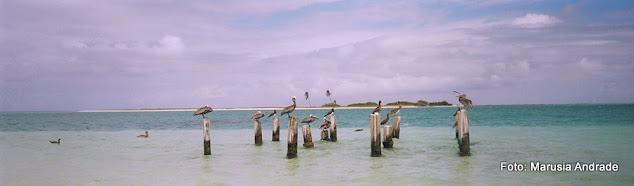 Pelicanos em Los Roques, Venezuela