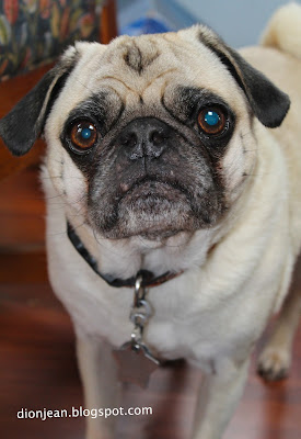 Liam the aging pug