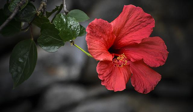 madeira,flowersofmadeira,madeiraparadiseisland,paradise,paradiseisland,red,redflower,eden