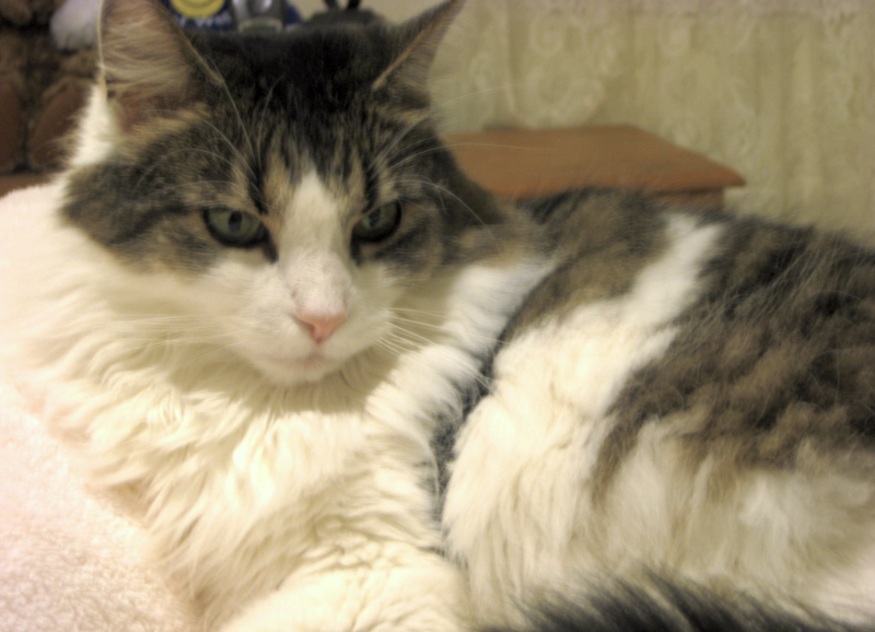 British Longhair cat breed: British Longhair cat breed