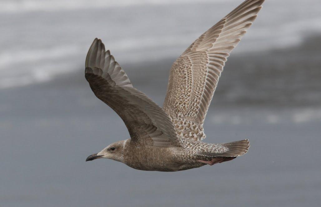 thayer's gull | kiwifoto.com |Thayers Gull